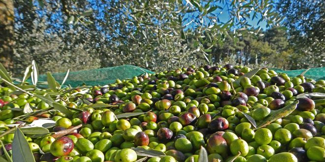 Tartous olive production expected to reach 92 thousand tons