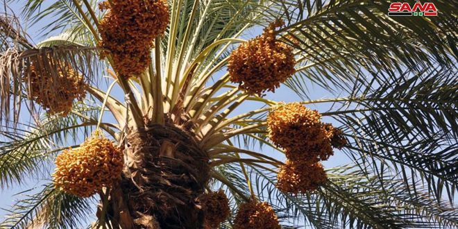 Homs production of dates expected to reach 1,475 tons