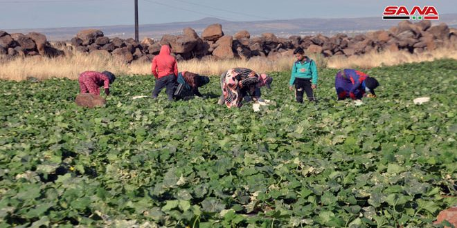 Sweida production of cucumber expected to reach 1,100 tons