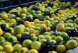 Lattakia produces about 600 thousand tons of citrus for current season