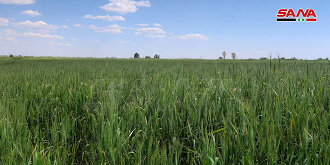 Wheat and barley cultivated over more than 742 thousand hectares in Hasaka