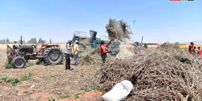Desde la aldea de Derkhabiyah en Damasco-campo, la cosecha de habas