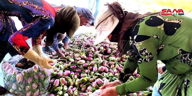 En fotos: cosecha de berenjena en Tal Deraa/ Municipio de Salamieh