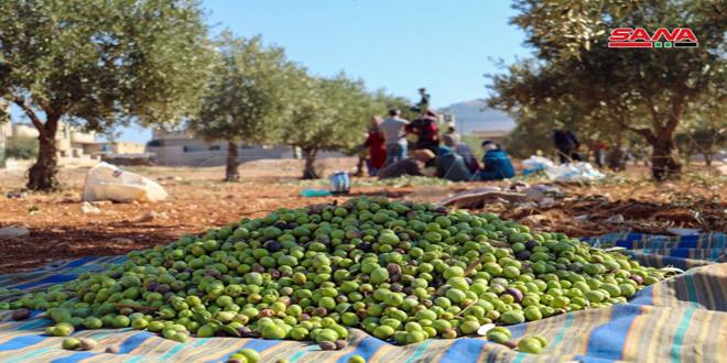 En fotos: temporada de recogida de aceitunas en Siria