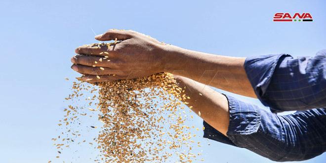 Historia del trigo sirio, un grano que alimenta la humanidad