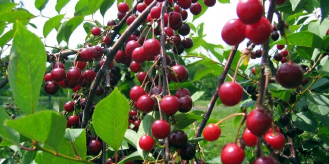 Урожай черешни в Кунейтре составит 192 тонны