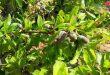 В провинции Хама планируют собрать более 10 тысяч тонн миндаля