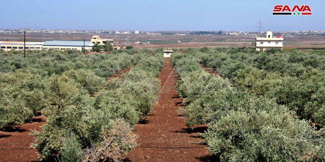 В Сувейде оценили урожай оливок