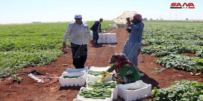 В провинции Дараа перевыполнили план по посадке летних овощей