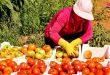 В провинции Хомс ожидается хороший урожай помидоров