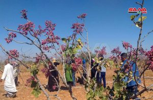 Pistachio Tree Compete With Traditional