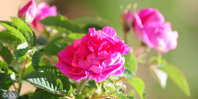 The Damask Rose, the queen of flowers and Syria's Ambassador to the world