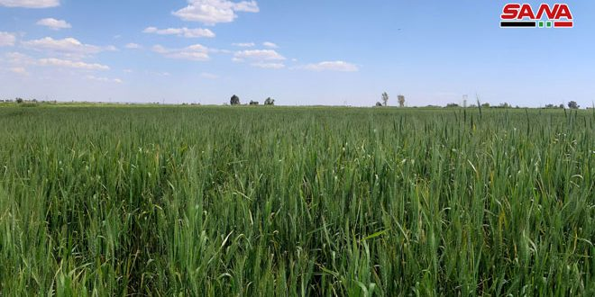 Significant increase in areas planted with wheat and barley in Syria