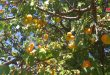 Syria's production of apricot expected to reach about 36 thousand tons