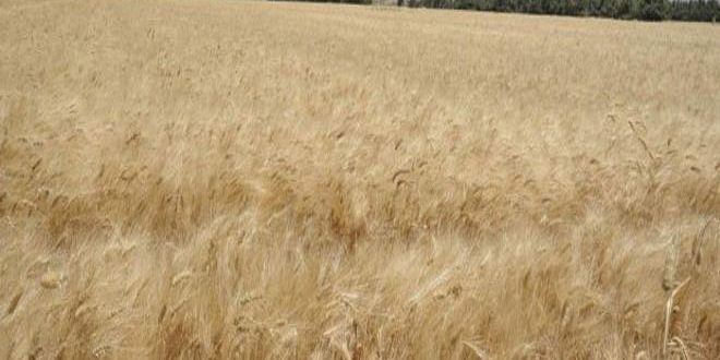 Turkey continues looting wheat, brings logistic materials into Hasaka countryside