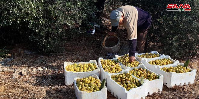Fig harvest season in Rabu village, Masyaf area in Hama Countryside