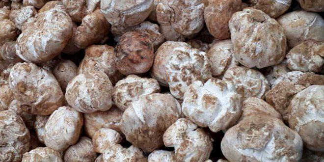 Abundante producción de trufas en el desierto de Palmira