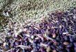 Siria exportó 30 mil toneladas de aceite de oliva a 33 países