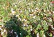 90 mil toneladas es la producción estimada de algodón en la temporada actual