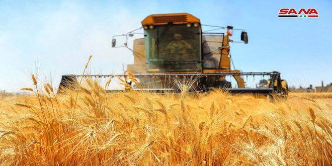 Siria compra el cultivo de trigo de sus agricultores a precios por encima del mercado mundial