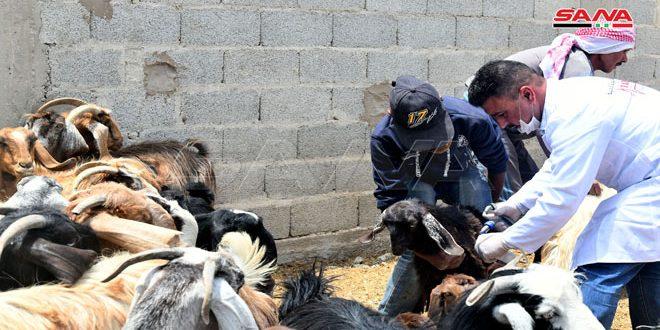 Agricultura lanza campaña para vacunar 1.700 000 de carneros y cabras contra PPR