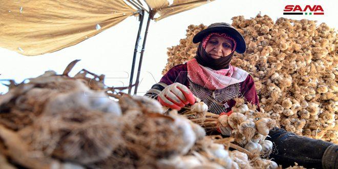 FOTOS: siria produjo más de 39 mil toneladas de ajo este año