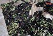 Sweida produce más de 9 mil toneladas de oliva
