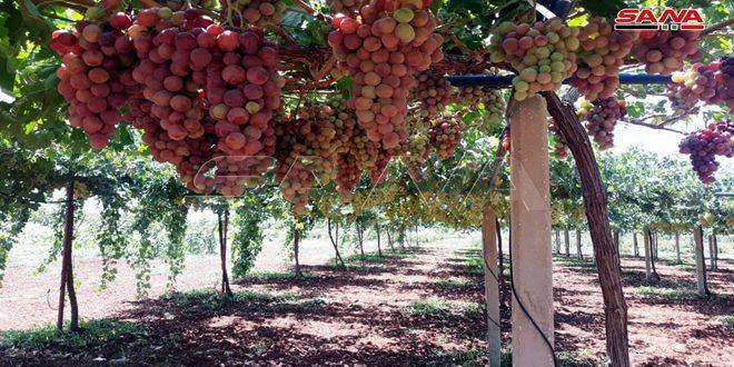 Provincia de Homs produce alrededor de 72 mil toneladas de uvas