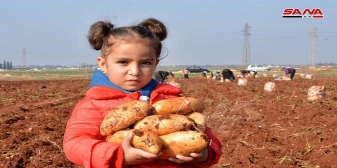 Provincia de Homs produce 66 mil toneladas de patatas. (fotos)