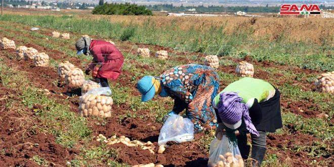La recolección de las papas en Siria.. trabajo y esperanza