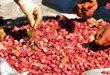 Siria produce 45 mil toneladas de pistachos
