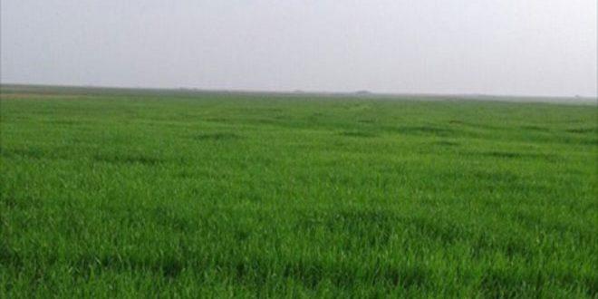 کشت بیش از 32 هزار هکتار محصولات گندم در السویدا