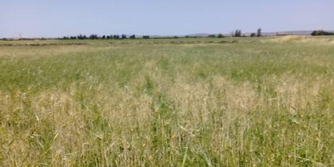 اداره کشاورزی القنیطره: تولید بیش از 6 هزار تن گندم در فصل جاری