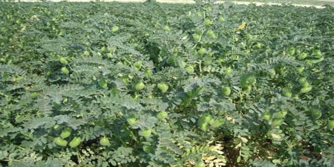 پیش بینی تولید بیش از 2200 تن نخود در منطقه غاب