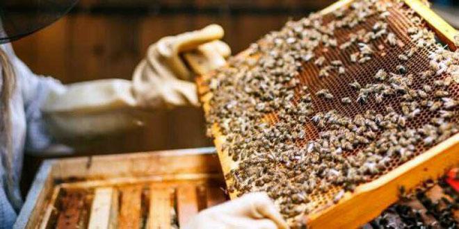 تولید بیش از 230 تن عسل در استان حماه
