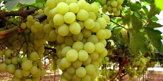برآورد تولید 840 تن انگور در استان القنیطره