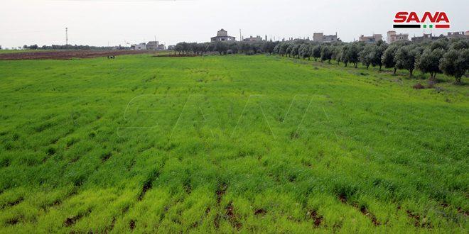 45 هزار و 127 هکتار از اراضی حماه به کشت گندم اختصاص یافت