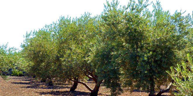La production d'olives en Syrie s'élève à 678 mille tonnes en 2018