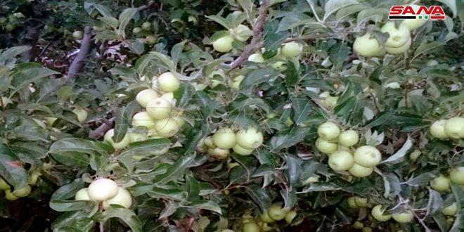 Production de plus de 22 mille tonnes de pommes à Hama