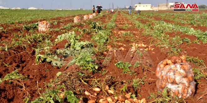 La banlieue de Homs produit 66 mille tonnes de pommes de terre (Photos)