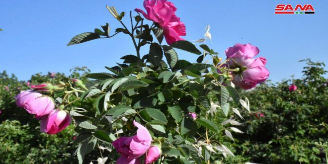 Le village de Ma'arin Sleib dans la banlieue de Hama accueille le festival de la récolte de la rose damascène