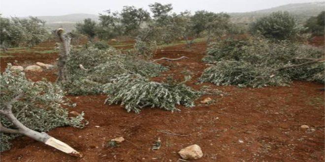 מתנחלים ישראלים כורתים מאות עצי זית בדרום בית לחם