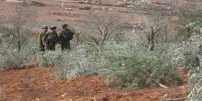 מתנחלים העלו באש עשרות עצי זית בדרום בית לחם
