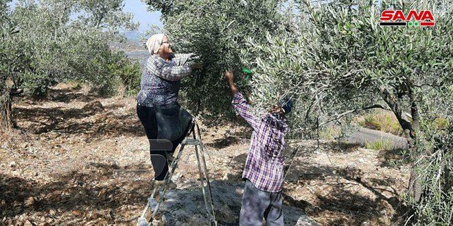 הפלחים בכפר חבנמרא התחילו במסיק הזיתים שלהם