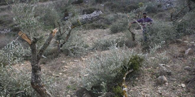 פלסטיני אחד נפצע בהתקפה שבצעו מתנחלים נגד חקלאים מזרחית לבית לחם
