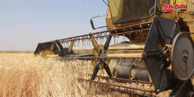 חקלאי דרעא ממשיכים לקצור את יבול החיטה