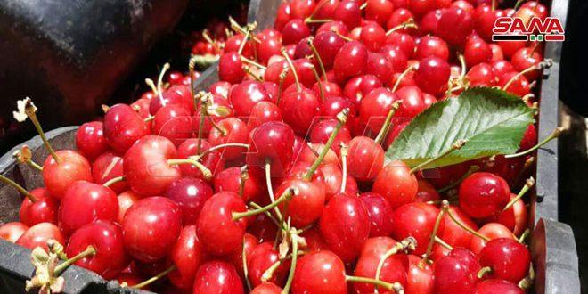 В провинции Кунейтра ожидают 2700 тонн урожая черешни