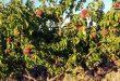 Урожай персиков в Сирии составил более 50 000 тонн