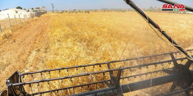 Министерство сельского хозяйства: Собран урожай пшеницы с земель площадью 89 900 гектаров