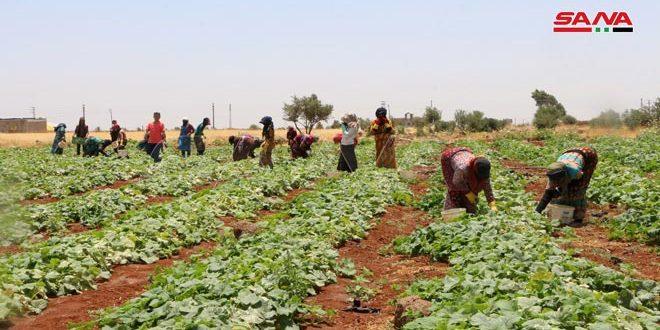 В Шейх-Мискине провинции Дараа крестьяне возделывают земли и собирают урожай